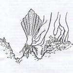Planting Rhizome