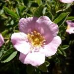 Rosa_californica_California_Wild_Rose
