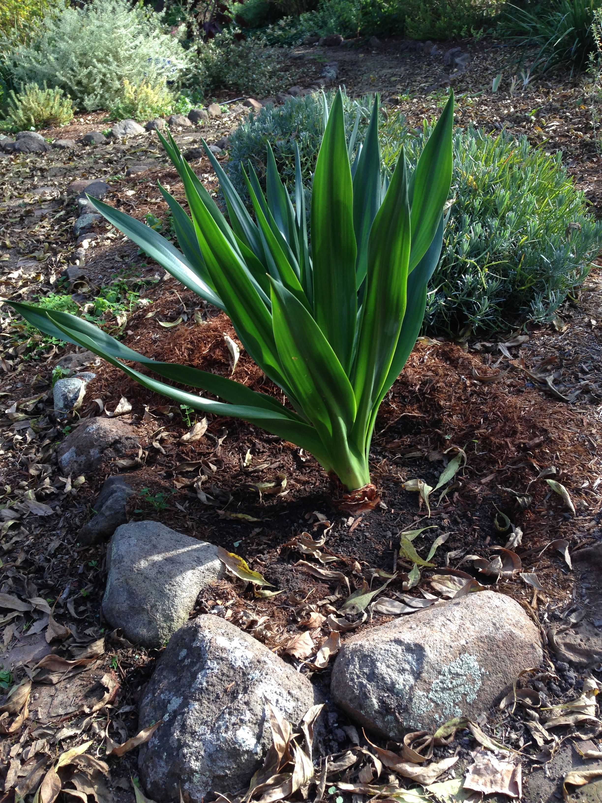 Giant Squill - planted
