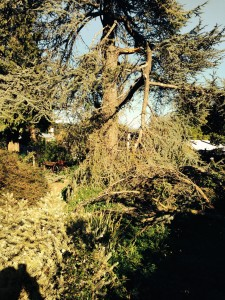 Atlas Cedar After Storm