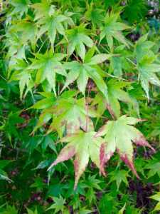 acer-palmatum-unknown-cultivar