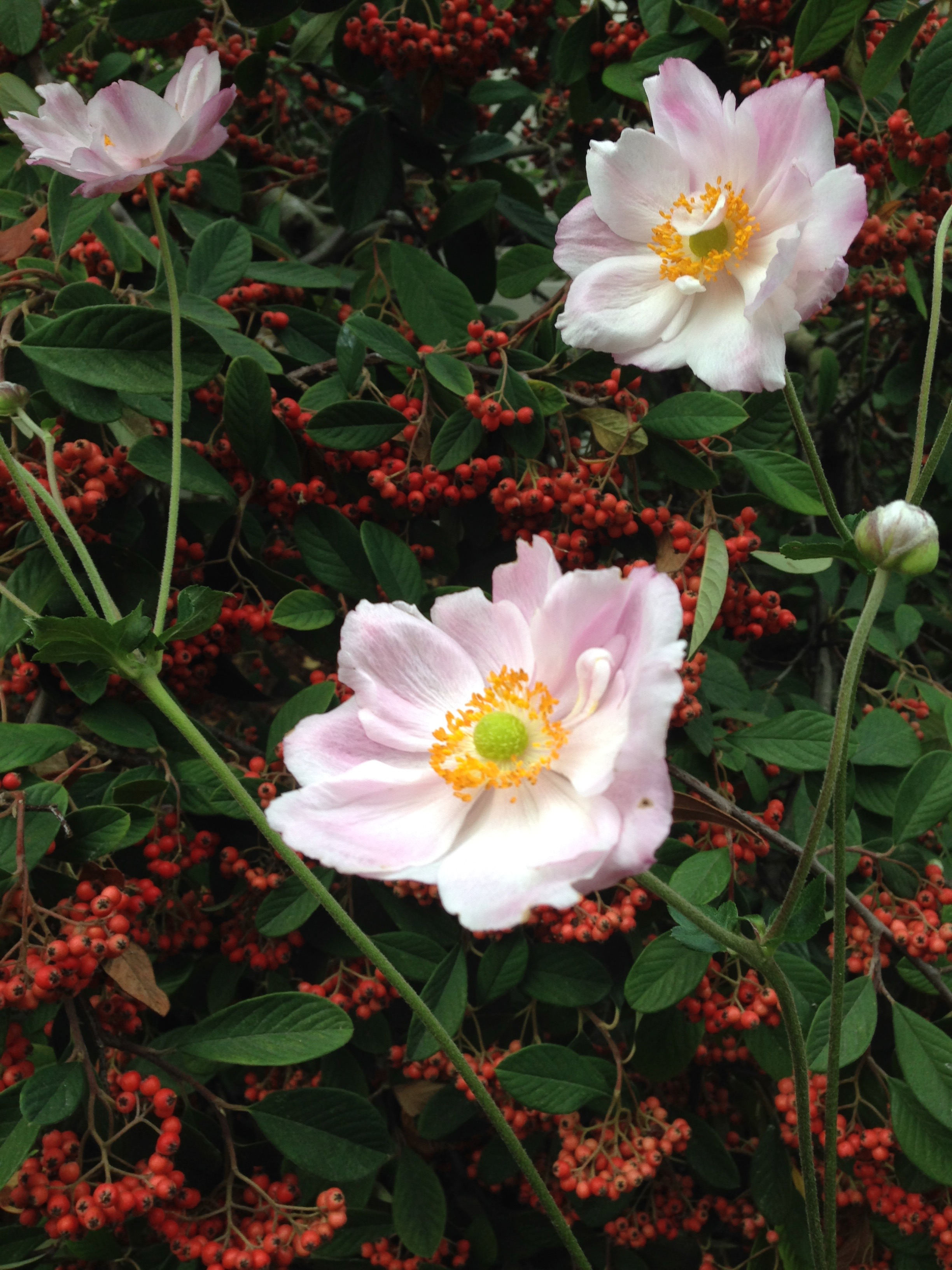 cotoneaster-anemone