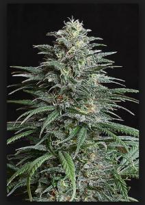 cannabis-plant-in-bud