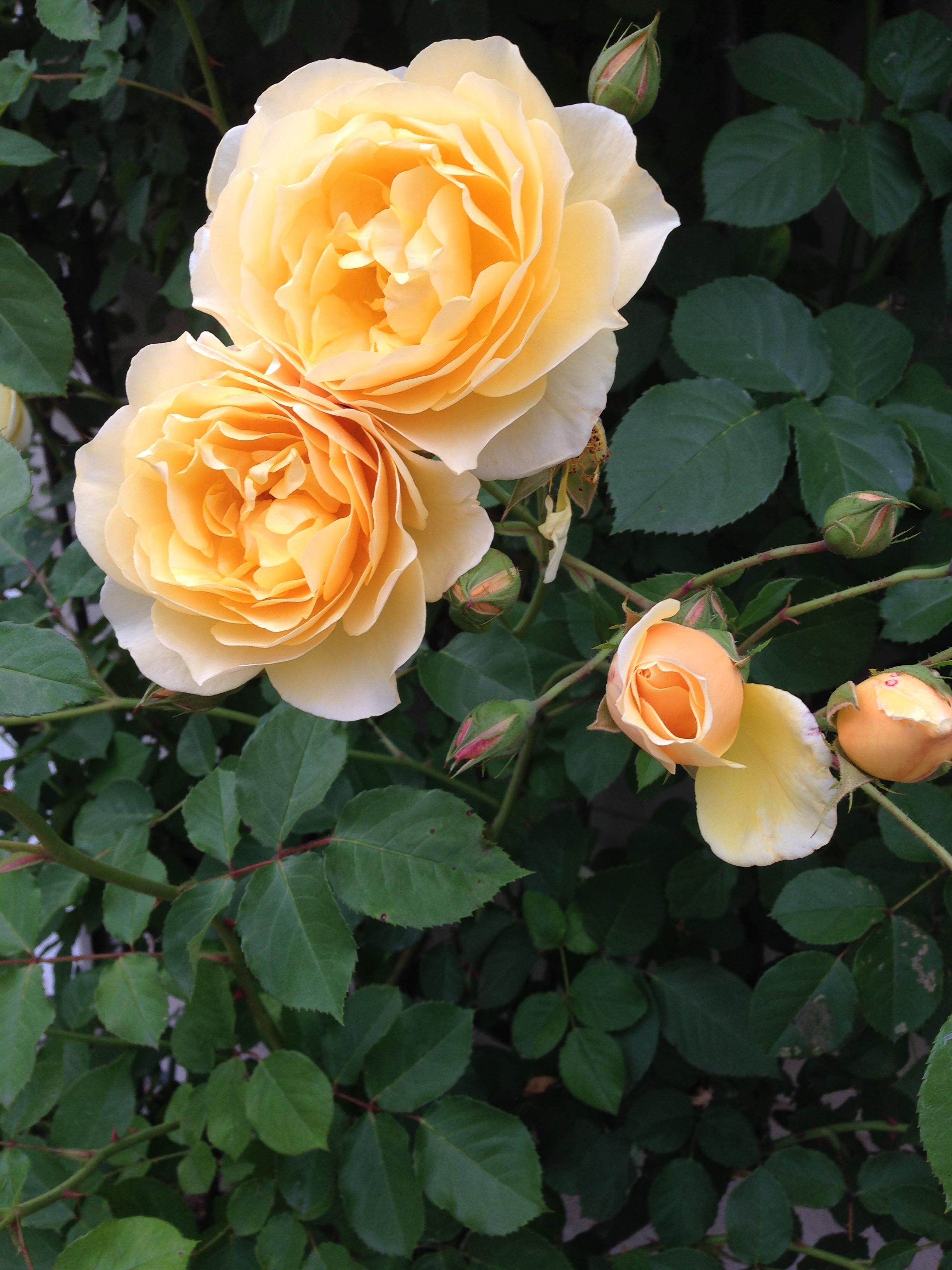 Rosa graham thomas blossoms ongardening rosa graham thomas blossoms thecheapjerseys Images